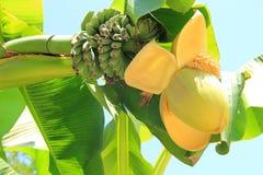 Banaanbloeiwijze met vruchten Royalty-vrije Stock Afbeeldingen