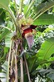 Banaanbloem stock afbeeldingen