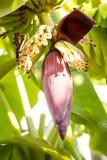Banaanbloem met vruchten op de tak Stock Foto