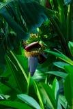 Banaanbloem op Bali Stock Foto