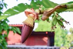 Banaanbloem op boom in Thailand Royalty-vrije Stock Afbeeldingen