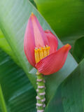 Banaanbloesem in de tuin Royalty-vrije Stock Afbeeldingen