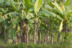 Banaanboom Stock Foto's