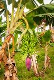 Banaanboom in Jerico Colombia Royalty-vrije Stock Afbeeldingen