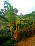 Banaanboom met aard stock afbeeldingen
