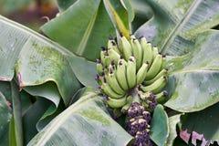 Banaanboom met bos van het kweken van rijpe groene bananen Stock Foto