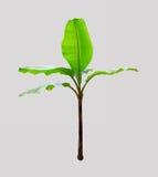 Banaanboom op witte achtergrond Stock Foto's