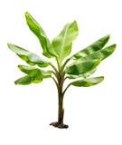 Banaanboom op witte achtergrond wordt geïsoleerd die Stock Foto