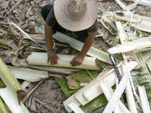 Banaanboomstammen die worden geoogst Royalty-vrije Stock Foto
