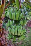 Banaanbos het hangen van de boom Royalty-vrije Stock Afbeelding