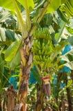 Banaaninstallatie Royalty-vrije Stock Fotografie