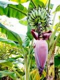 Banaaninstallatie Royalty-vrije Stock Foto