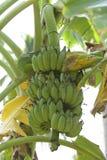 Banaaninstallatie Stock Afbeelding