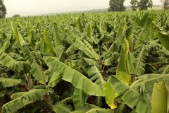Banaanlandbouwbedrijf Royalty-vrije Stock Foto