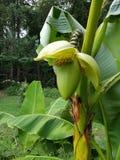 Banaanspruit Royalty-vrije Stock Foto