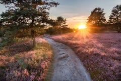 Banahoheathland med blomningljungcallunaen som är vulgaris i den Lueneburg heden i lägre Sachsen, Tyskland royaltyfria foton