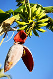 bananów kwiatu zieleń Fotografia Royalty Free
