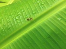 Bananów liście i wod krople Z mrówką obraz royalty free