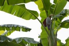 Bananów liście odizolowywający na białym tle zdjęcia royalty free