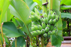 Banan Fotografia Stock