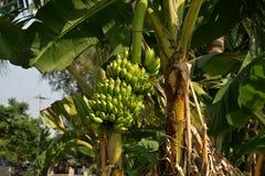 Banan eller Musa, koloni nära Hampi, Karnataka, Indien Royaltyfri Foto