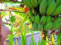 Banan i Thailand Arkivbilder
