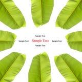 banan isolerad leafwhite arkivfoton