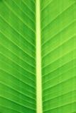 Banan leaf Stock Images