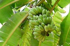 Banan na bananowym drzewie Fotografia Royalty Free