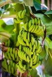 Banan na drzewie fotografia stock