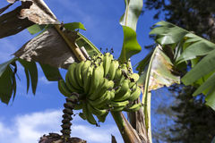 Banan na drzewie Obrazy Royalty Free