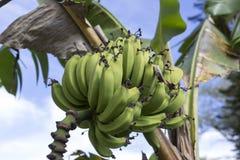 Banan na drzewie Zdjęcie Stock