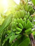 banan niedojrzały fotografia stock