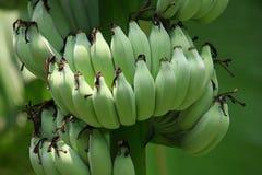 banan niedojrzały fotografia royalty free