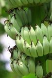 banan niedojrzały obrazy royalty free