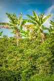Banan Trees in Koffieaanplanting in Jerico Colombia Royalty-vrije Stock Foto's