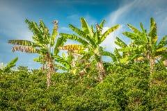 Banan Trees in Koffieaanplanting in Jerico Colombia Royalty-vrije Stock Afbeeldingen
