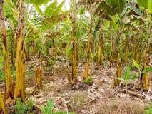 Banan uprawia ziemię w Brazylia zdjęcia stock