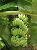 banan wiązka Zdjęcie Royalty Free