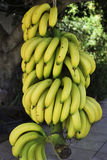 banan wiązka Fotografia Royalty Free