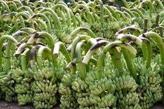banan wiązka Zdjęcia Stock