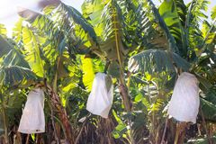 Banana's on a banana plantation. royalty free stock photos