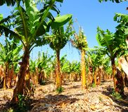Banana. Plantation After Gathering In The Harvest Stock Images