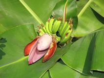 Banana. With leaf Royalty Free Stock Images