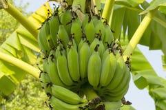 Banana on the banana tree at farm2. Banana on the banana tree at farm royalty free stock images