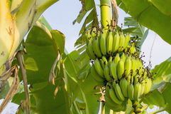 Banana on the banana tree at farm3. Banana on the banana tree at farm stock image