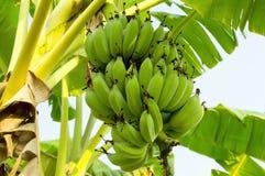 Banana on the banana tree at farm. Asia royalty free stock photos