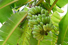 Banana on banana tree Royalty Free Stock Photography