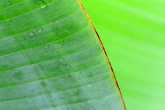 Banana,  banana tree Stock Photography