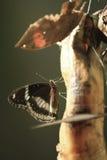Banana bevente della farfalla Immagine Stock